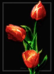 Red Tulips on Black by digital-pat