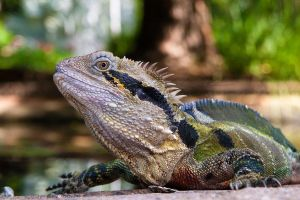 Eastern Water Dragon 5 by ShannonIWalters