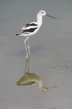 Reflections: Female American Avocet by Shadow848327