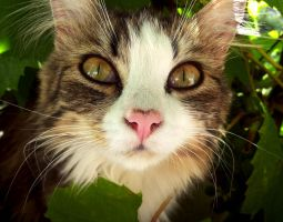 Cat close-up by Solan7