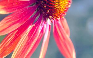wallpaper - echinacea I by asia1573