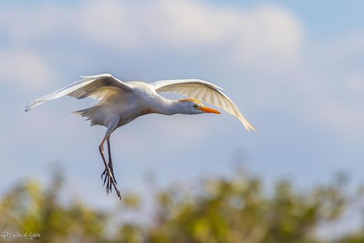 Cattle Egret landing by CyclicalCore