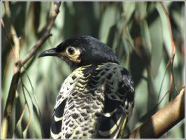 33. Regent Honeyeater by fire-works