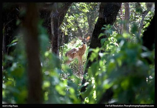 Spotted deer spotted me by PearsPhotography