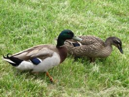 Two ducks walking around by DisneyPrincessNeeNee