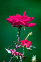 Every Rose it's Thorns by ChrisNs