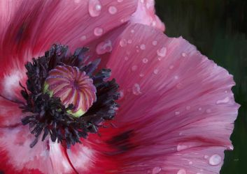 The poppy weeps by scribbler