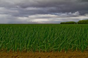 Onion Field by zootnik