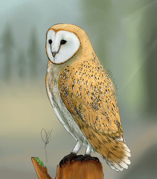 Barn Owl by 132364