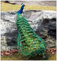 Peacock by ciseaux
