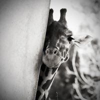 The Giraffe by allsoulsnight