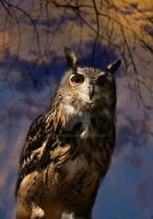 Long Eared Owl by welshbeck