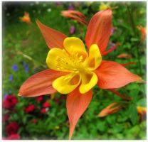 Orange And Yellow Columbine by JocelyneR