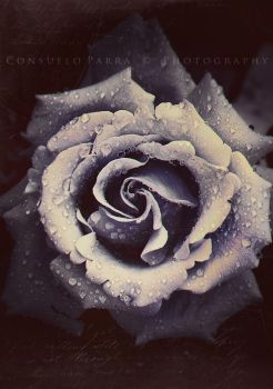 I say it with a rose... by Aeternum-designs