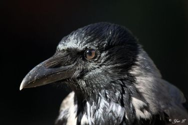 crow close up by Yair-Leibovich