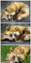 Cross Fox Soft Mount (2) by WeirdCityTaxidermy