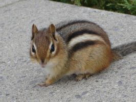Chipmunk by MapleRose-stock
