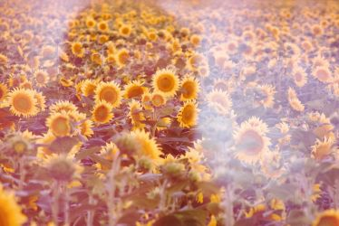 Sunflowers 1 by SkylerBrown