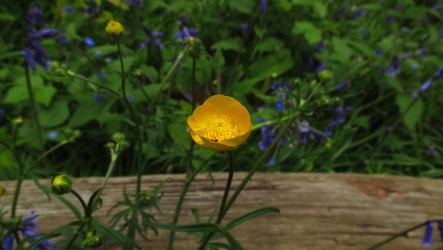 Buttercup (HD Wallpaper) by Pimpernel