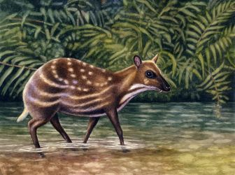 Water Chevrotain by WillemSvdMerwe