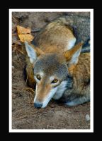 Resting Red Wolf by Sudak