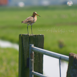Black-tailed Godwit 1 by WotL