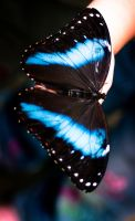 Blue butterfly by Ex1Lee