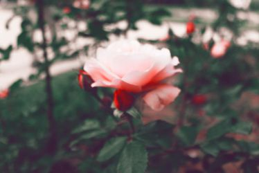 Pinky red rose by KhaledReese