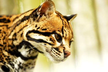 Ocelot Close Up by Shadow-and-Flame-86