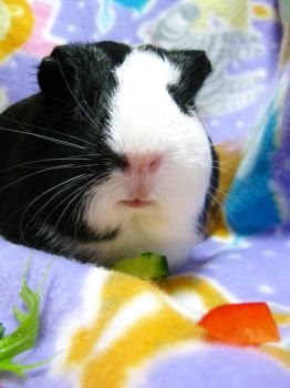 Guinea Pig Nose by AshleyLegit