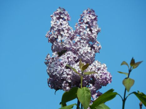 Lilacs 2018 by Moonstone27