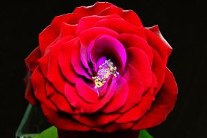 Red rose by scotchy1ca