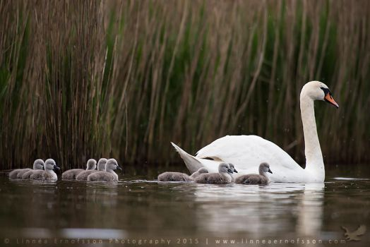 Swan family by linneaphoto