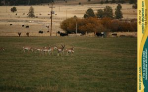 Pronghorn herd 1 by RoonToo