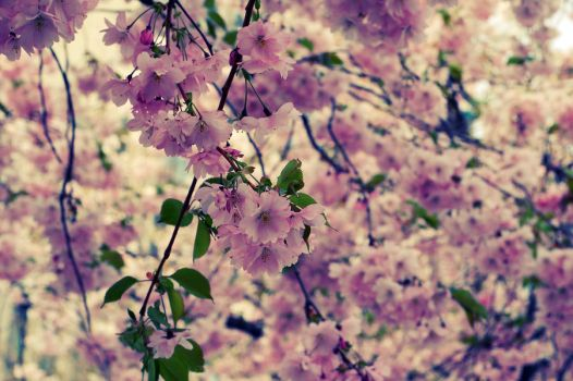Cherry blossoms by tufft