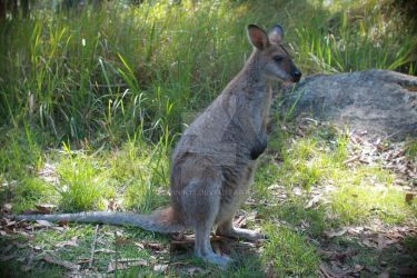 Wallaby by Dominik19