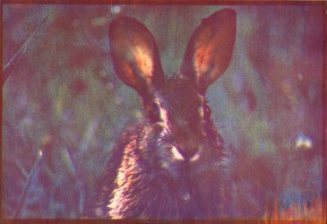 Gum Bichromate Print #1 Rabbit by OneOfLifesMysteries