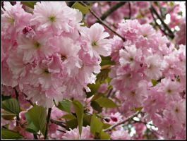Japanese Cherry Blossoms (2) by Michies-Photographyy