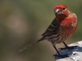 Male House Finch 2 by photographyflower