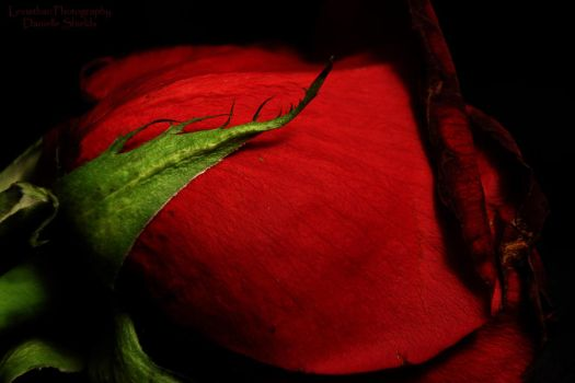 Rose Red by DamiasPhotos