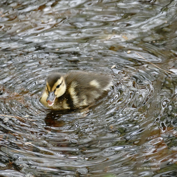 One Lil Duckling by Mogrianne