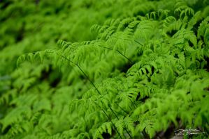Oak fern 2 by themanitou