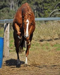 Thoroughbred Free Jumping 1 by naturalhorses
