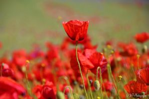 the awakening of poppies by MT-Photografien