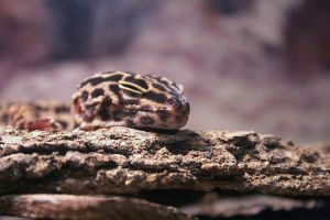 Leopard Gecko by in2photography