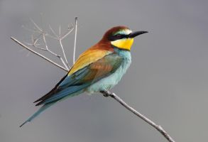A splash of colour - European Bee-eater by Jamie-MacArthur