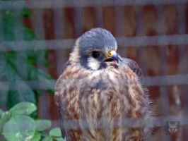 The Curious kestrel by wolfwings1