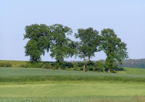 The Four Oaks In The Early Summer by rattus-bavariae