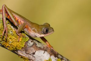 Curious tiger legged frog by AngiWallace