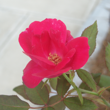 Old Fashioned Rose by 1389AD